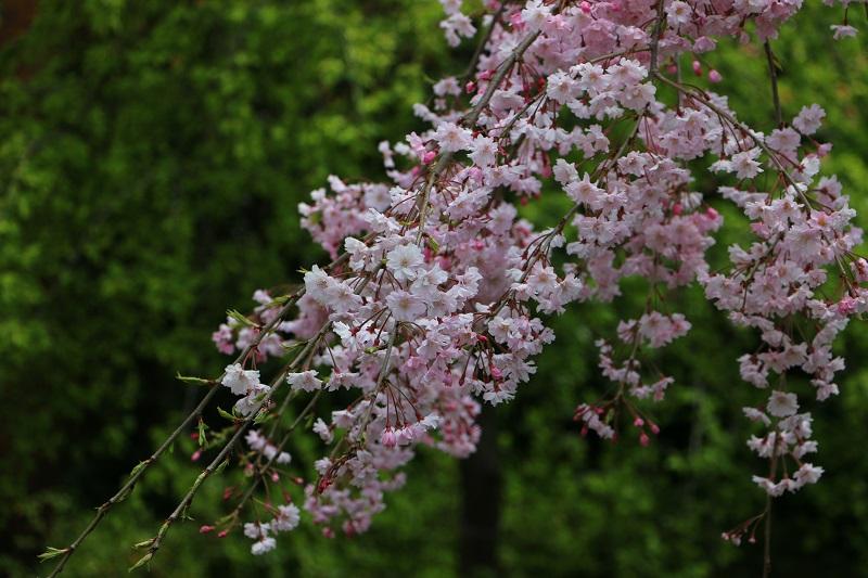 しだれ桜B.jpg