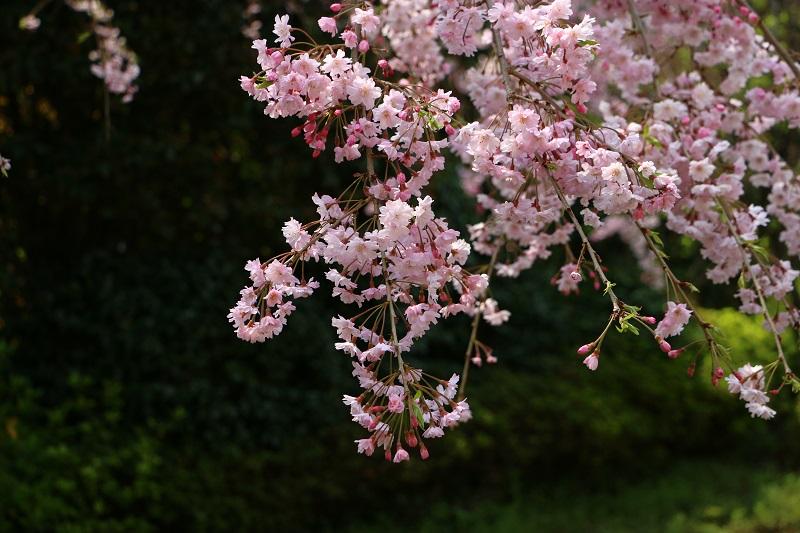 しだれ桜C.jpg