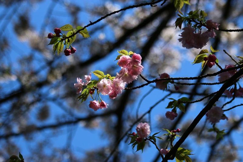 八重桜A.jpg