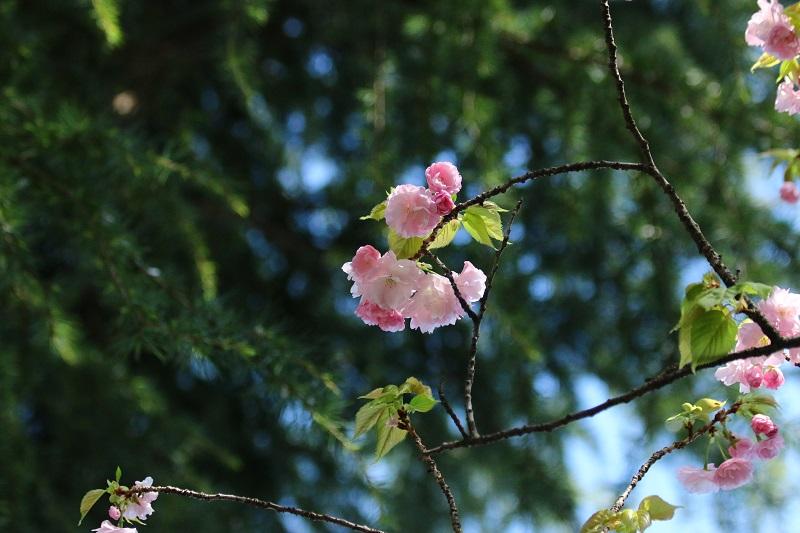 八重桜B.jpg