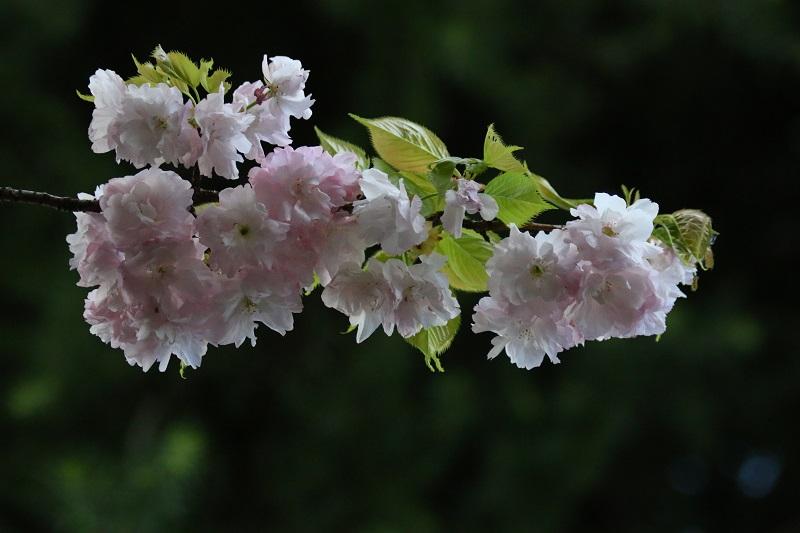 八重桜C.jpg