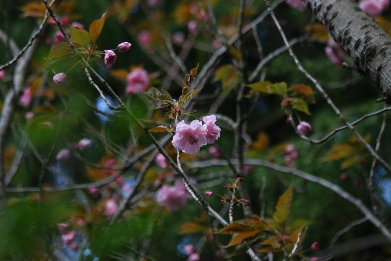 八重桜D.jpg