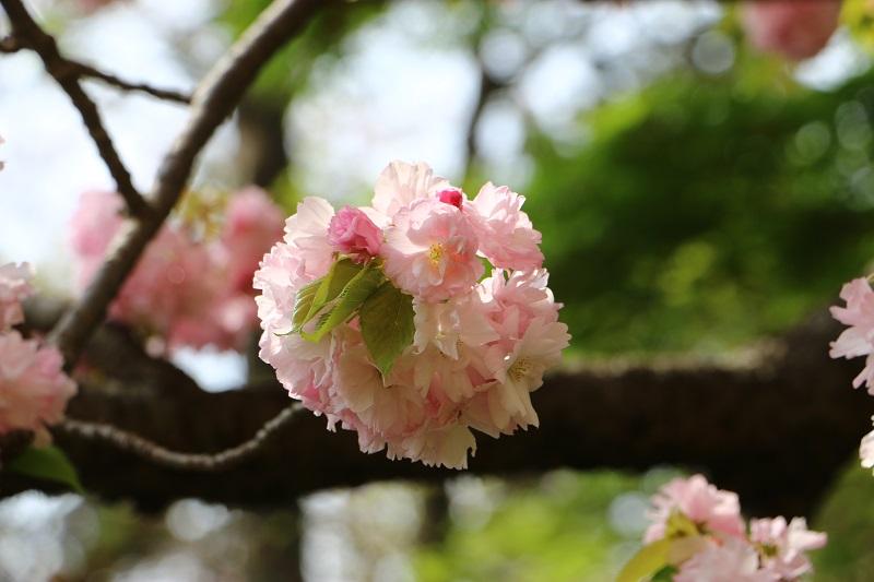 八重桜E.jpg