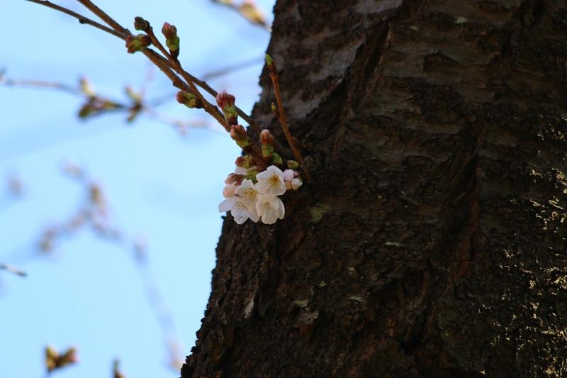 桜開花26.jpg