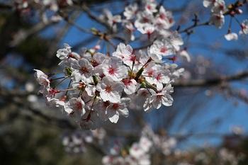 2020桜咲く.JPG