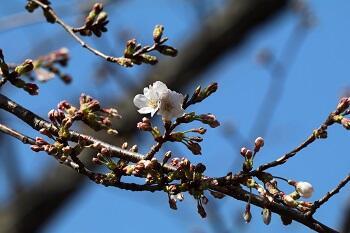 トップ画像用に聖園の桜.jpeg